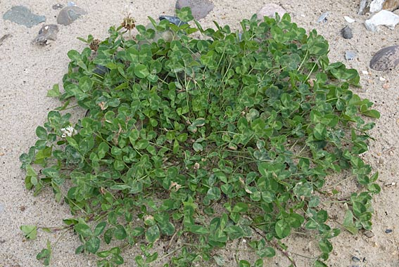 Hvid-Kløver (Trifolium repens)