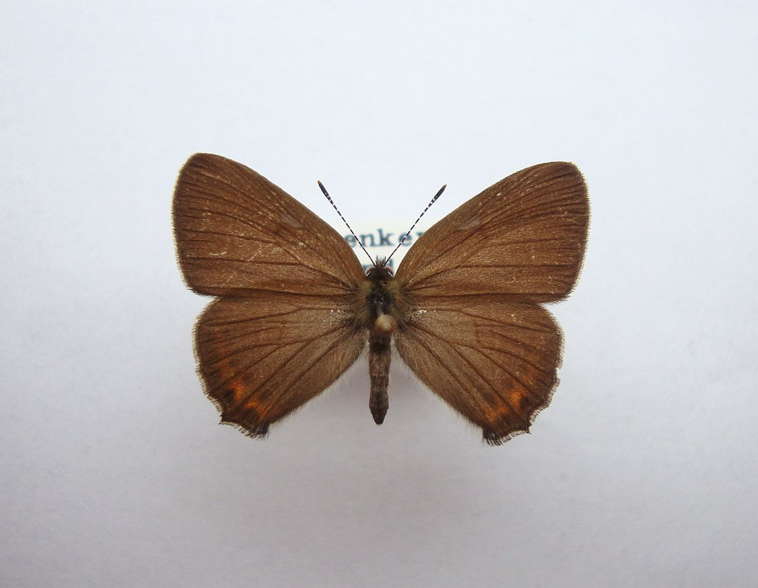 Slåensommerfugl (Satyrium pruni)