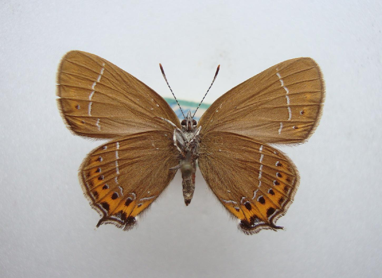 Foto/billede af Slåensommerfugl (Satyrium pruni)