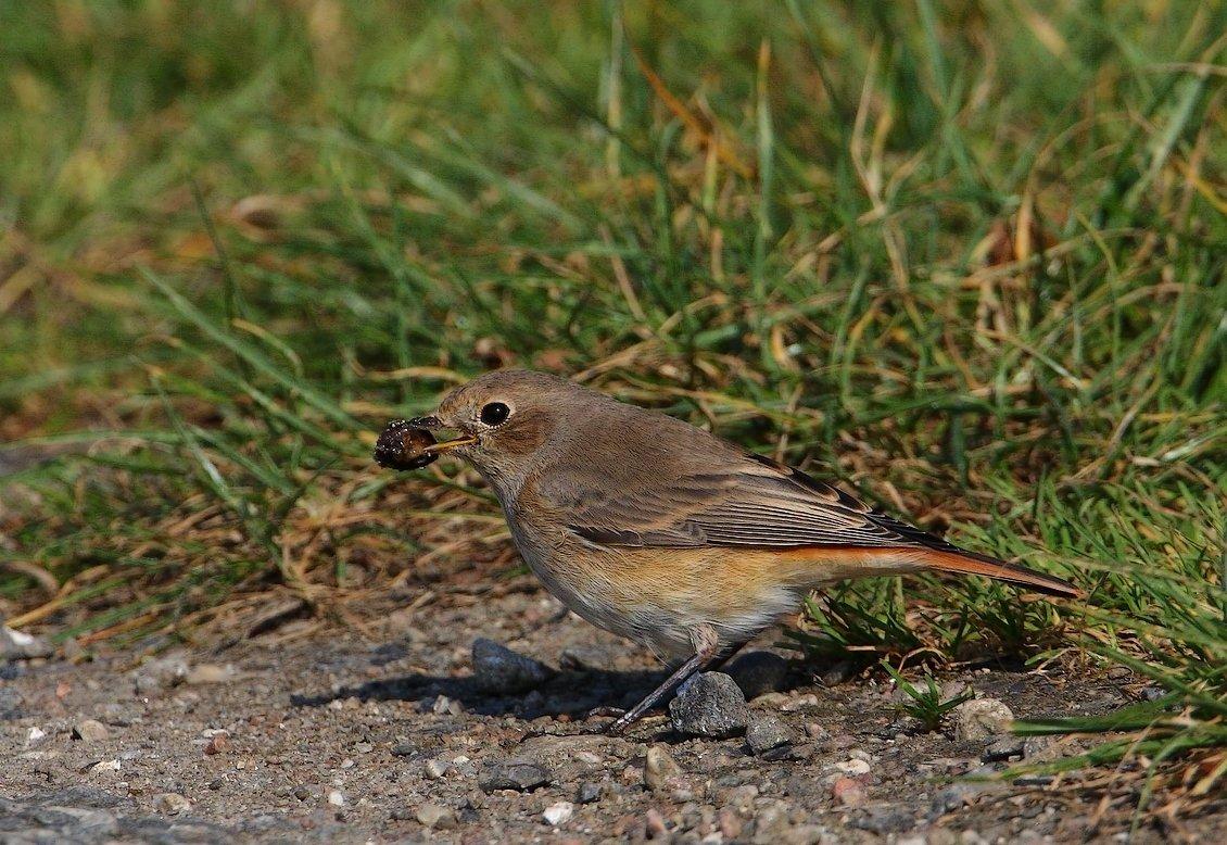 Rødstjert (Phoenicurus phoenicurus)
