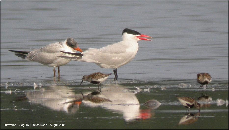 Foto/billede af Rovterne (Hydroprogne caspia)