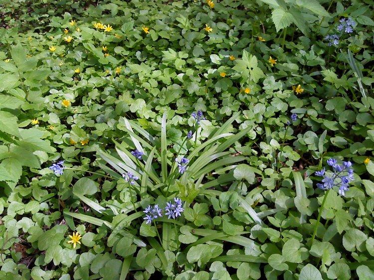 Italiensk Skilla (Hyacinthoides italica)