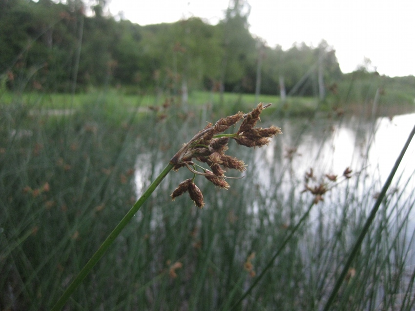 Foto/billede af Sø-Kogleaks (Schoenoplectus lacustris)