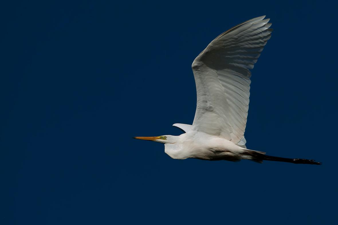 Foto/billede af Sølvhejre (Ardea alba)