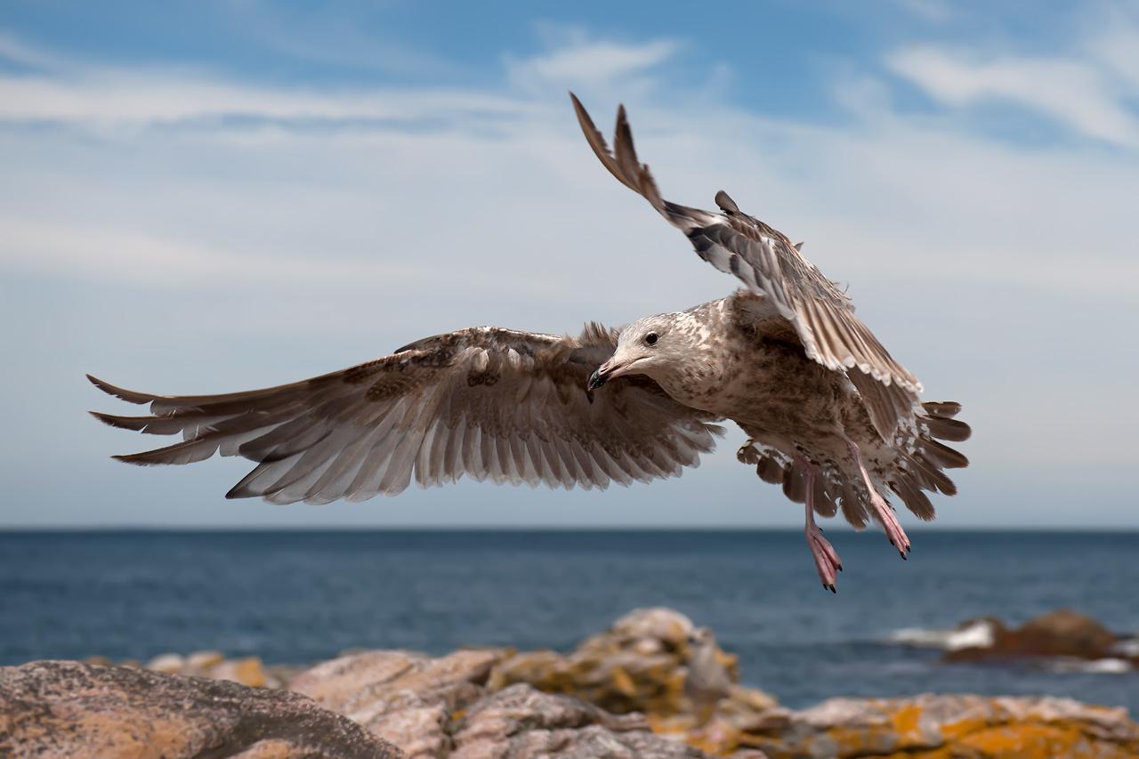 Foto/billede af Sølvmåge (Larus argentatus)