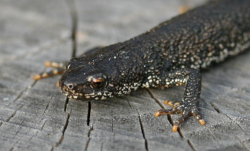 Stor Vandsalamander (Triturus cristatus)