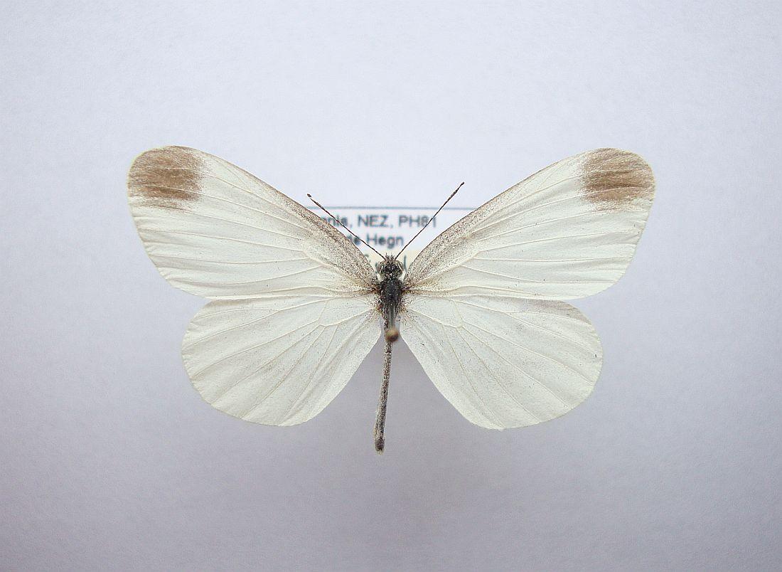 Foto/billede af Skovhvidvinge (Leptidea sinapis)