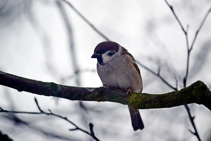 Skovspurv (Passer montanus)