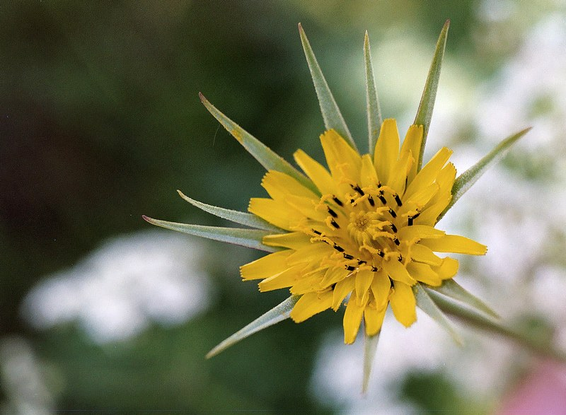 Foto/billede af Småkronet Eng-Gedeskæg (Tragopogon pratensis ssp. minor)