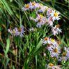 Strandasters (Tripolium vulgare)