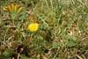Almindelig Dværgmælkebøtte (Taraxacum obliquum)