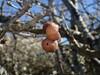 Marmorkugle-Galhveps (Andricus kollari)