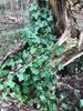 Irsk Vedbend (Hedera hibernica)