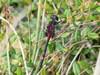 Lille Kærguldsmed (Leucorrhinia dubia)