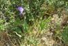 Have-Iris (Iris germanica)