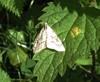 Vinterkarsehalvmøl (Evergestis pallidata)