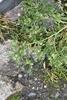 Ravnefod (Coronopus squamatus)