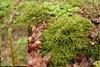 Ulvefod-Kransemos (Rhytidiadelphus loreus)