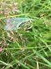 Chrysopa perla (Chrysopa perla)
