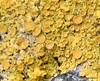 Storfrugtet Lavpest (Lichenoconium xanthoriae)