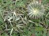 Hybrid-Tidselkugle (Echinops x pallenzianus)
