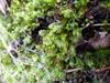 Foto/billede af Plagiochilaceae - Plagiochilaceae