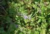 Ager-Mynte (Mentha arvensis)