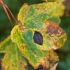 Ahorn-Rynkeplet (Rhytisma acerinum)