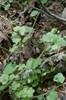 Krat-Ærenpris (Veronica hederifolia ssp. lucorum)