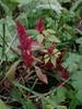 Kortakset Top-Amarant (Amaranthus hybridus ssp. hypochondriacus)