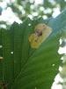 Kravebærende Elleminérbladhveps (Heterarthrus vagans)