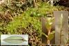 Nedløbende Bryum (Bryum pseudotriquetrum)