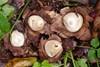 Foto/billede af Stjerneboldfamilien - Geastraceae
