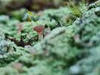 Rødbrun Svampelav (Baeomyces rufus)