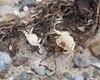 Foto/billede af Storkrebs - Malacostraca