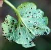 Korsknaprust (Puccinia glechomatis)
