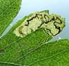 Stigmella hybnerella (Stigmella hybnerella)