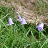 Foto/billede af Klokkefamilien - Campanulaceae