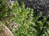 Almindelig Brandbæger (Senecio vulgaris)