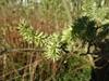 Bånd-Pil (Salix viminalis)