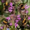 Havehumle (Bombus hortorum)