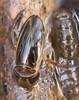 Lille Rovbugsvømmer (Cymatia coleoptrata)