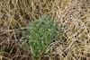Mark-Bynke (Artemisia campestris)