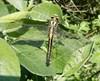 Foto/billede af Flodguldsmede - Gomphidae