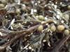 Foto/billede af Sargassaceae - Sargassaceae