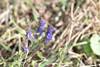 Ægte Isop (Hyssopus officinalis)