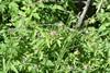 Purpur-Storkenæb (Geranium purpureum)