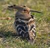 Foto/billede af Hærfugle - Upupidae