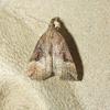 Humleugle (Hypena rostralis)
