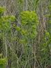 Euphorbia esula (Euphorbia esula)